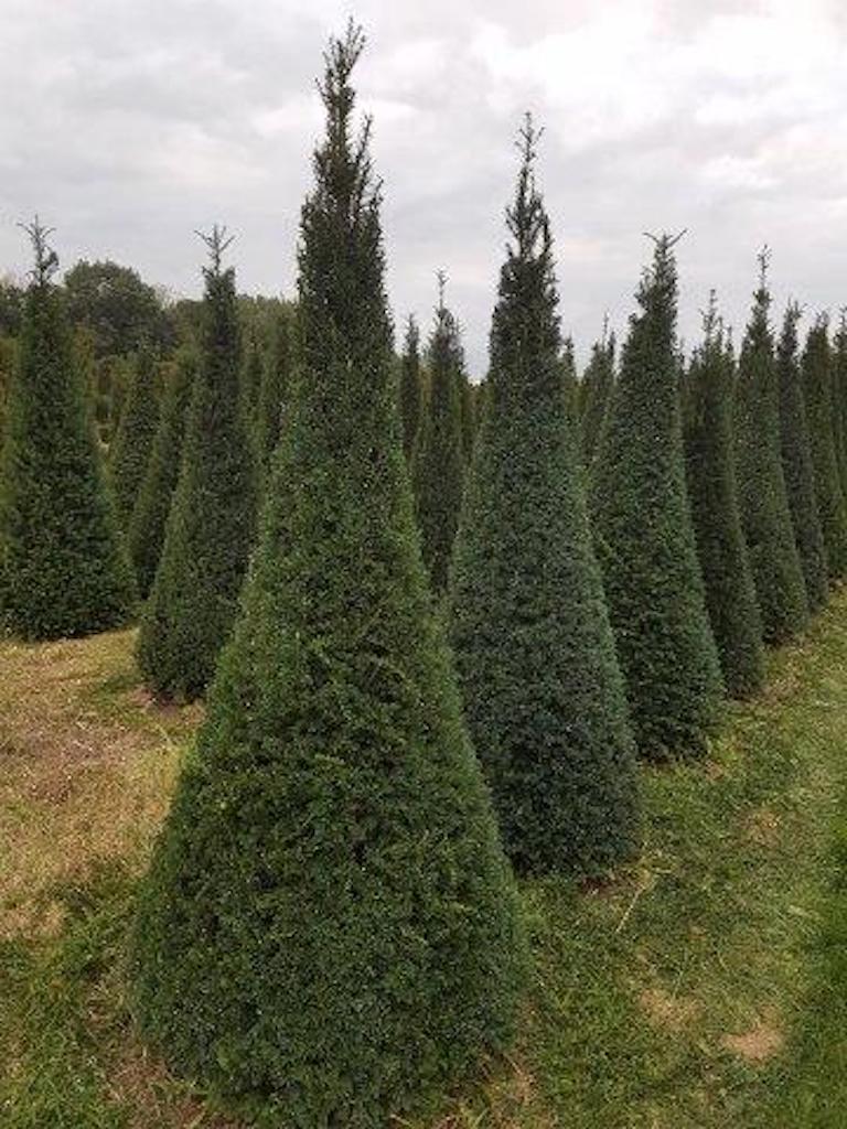 Taxus baccata cones 175-200-250cm