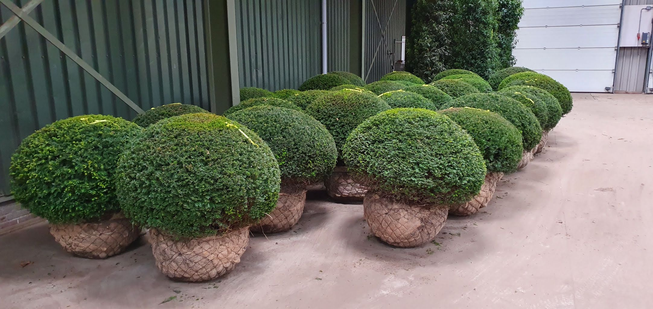 Taxus baccata extra large Yew topiary balls with root-balls