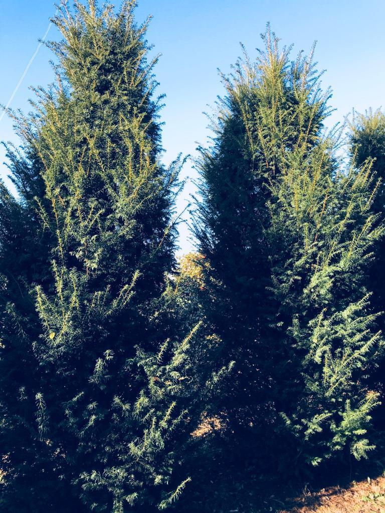 Taxus baccata hedge plants 400-450cm (150-160cm wide)