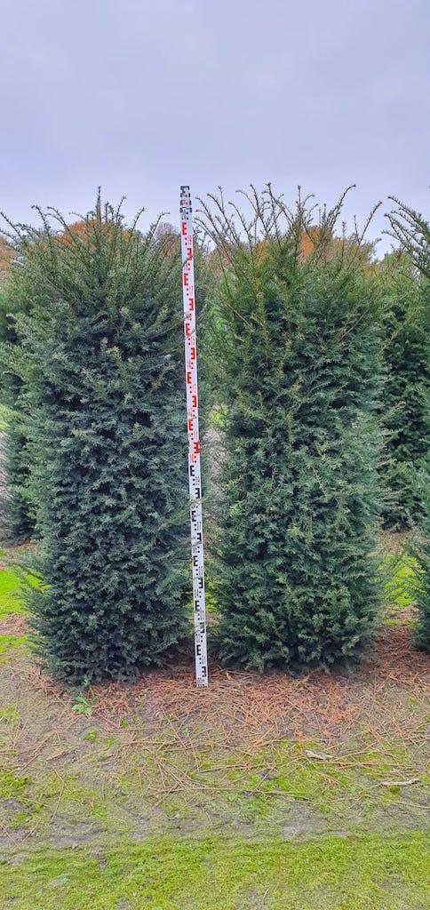 Taxus baccata instant hedge plants 200cm x 50cm x 50cm (1)