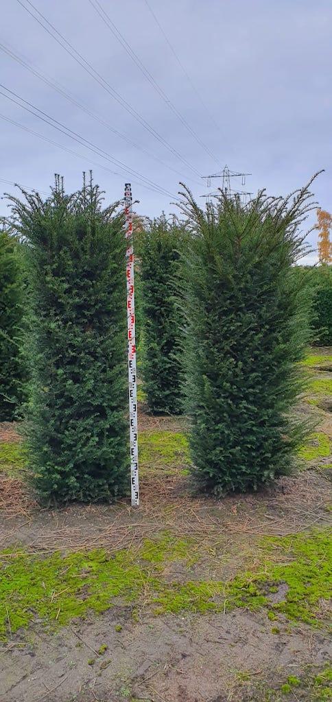 Taxus baccata instant hedge plants 200cm x 50cm x 50cm (2)