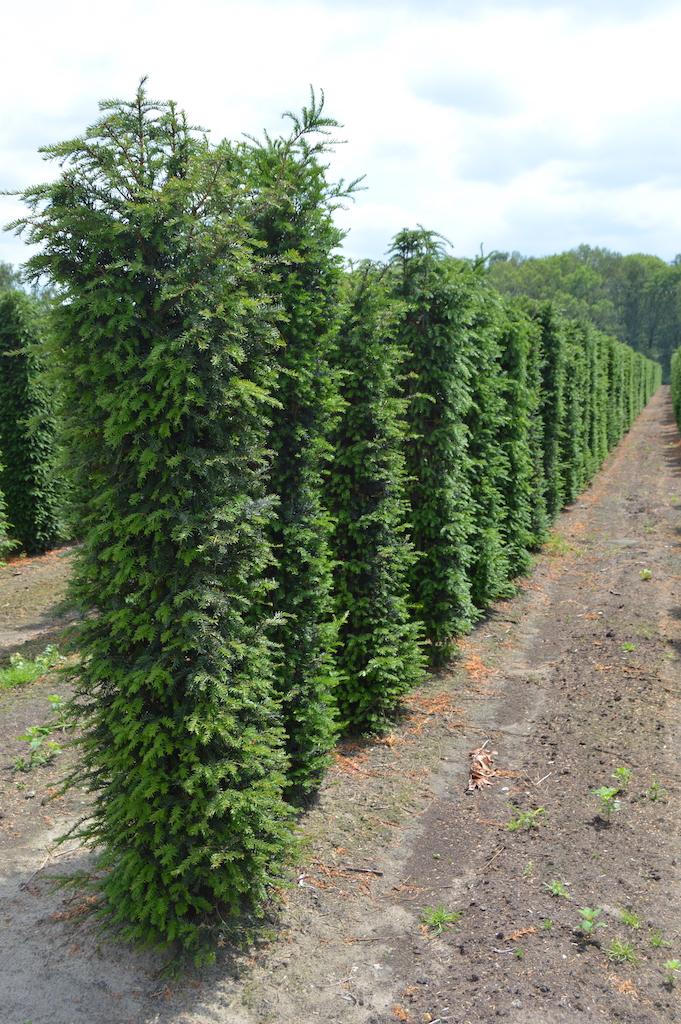 Taxus baccata instant hedge plants 200cm x 50cm x 50cm