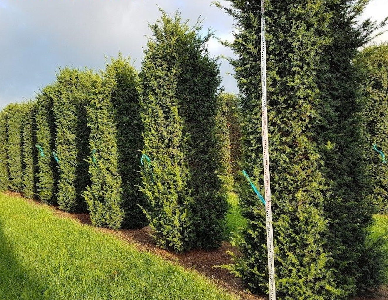 Taxus baccata instant hedge plants 300-350cm tall x 80-100cm wide