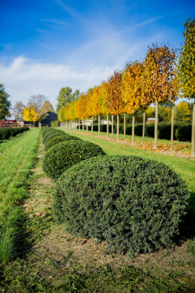 Taxus baccata low topiary Yew domes