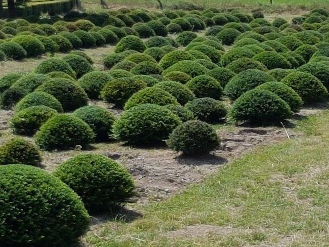 Taxus baccata low topiary balls or domes