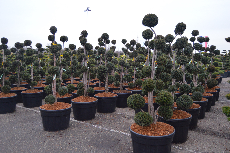 Taxus baccata multi-ball cloud pruned trees 175-200cm