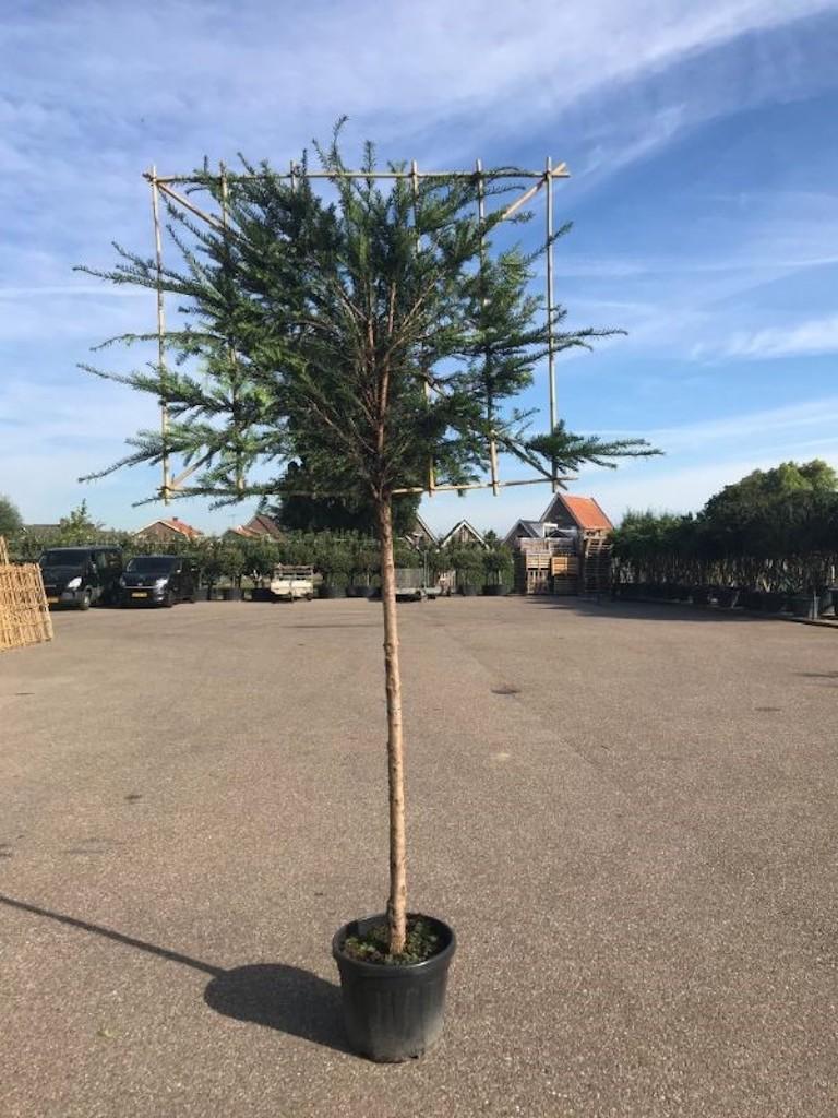 Taxus baccata pleached 14-16 grade, 180cm clear stem