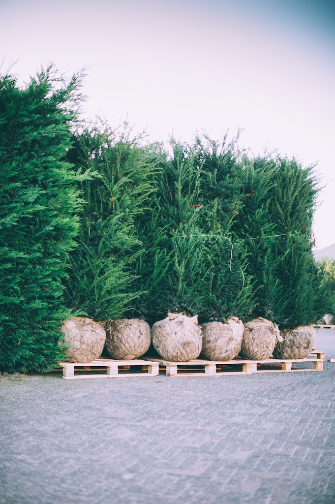 Taxus baccata root-ball hedge plants