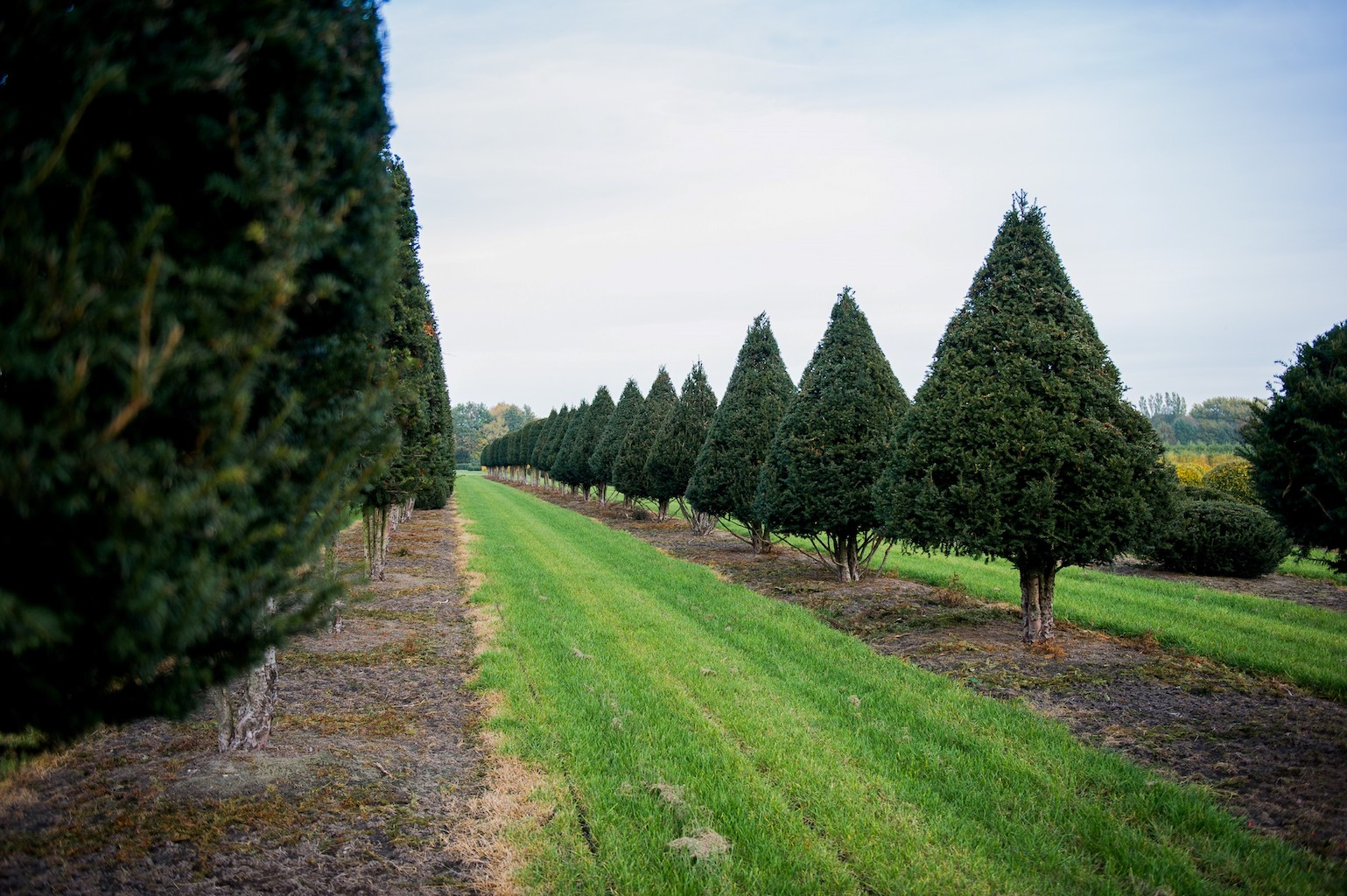 Taxus baccata topiary Yew cones with clear stem