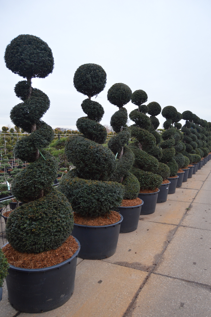 Taxus baccata topiary Yew spirals