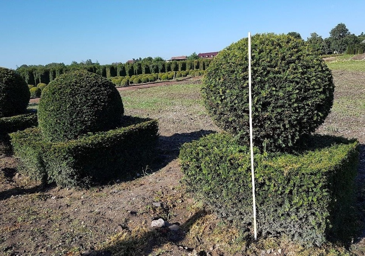 Taxus baccata topiary block with ball on top