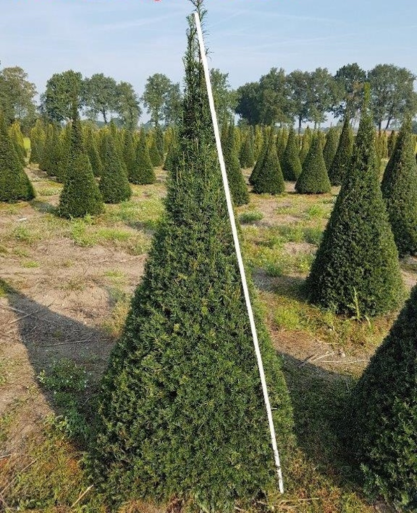 Taxus baccata topiary cones 175-200cm tall