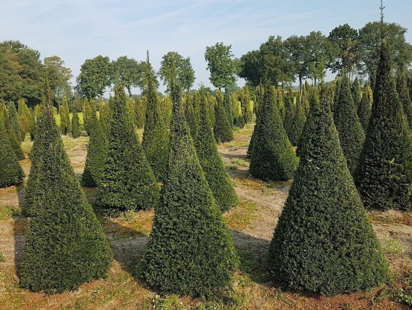 Taxus baccata topiary cones assorted sizes 150cm to 225cm