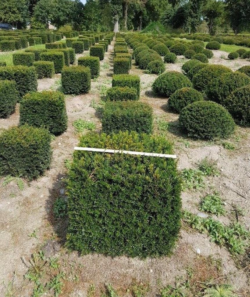 Taxus baccata topiary cubes 60cm x 60cm x 60cm