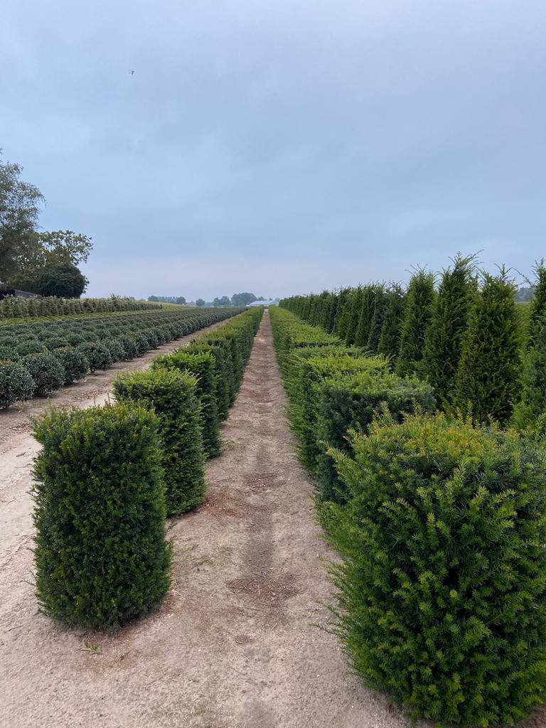 Taxus baccata topiary cylinders (1)