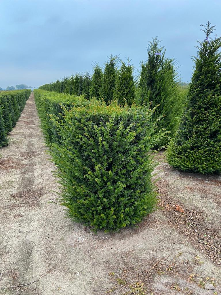 Taxus baccata topiary cylinders (2)