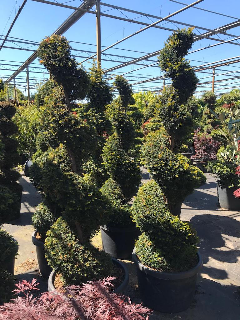 Taxus baccata topiary spirals 175-200cm (1)