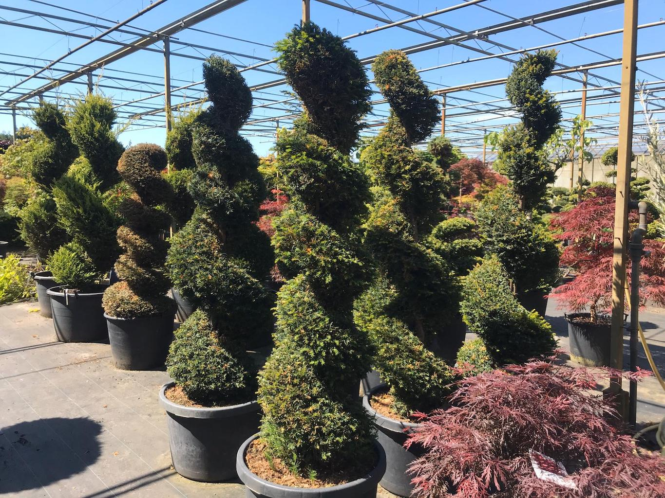 Taxus baccata topiary spirals 175-200cm (2)