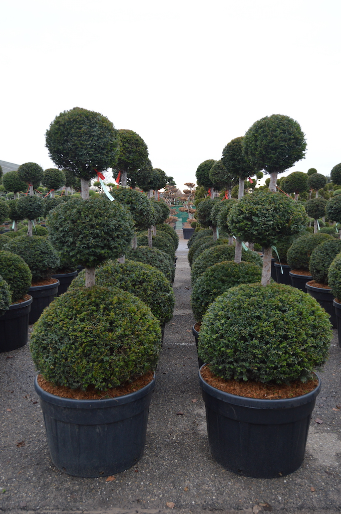 Taxus baccata triple ball Yew topiary plants