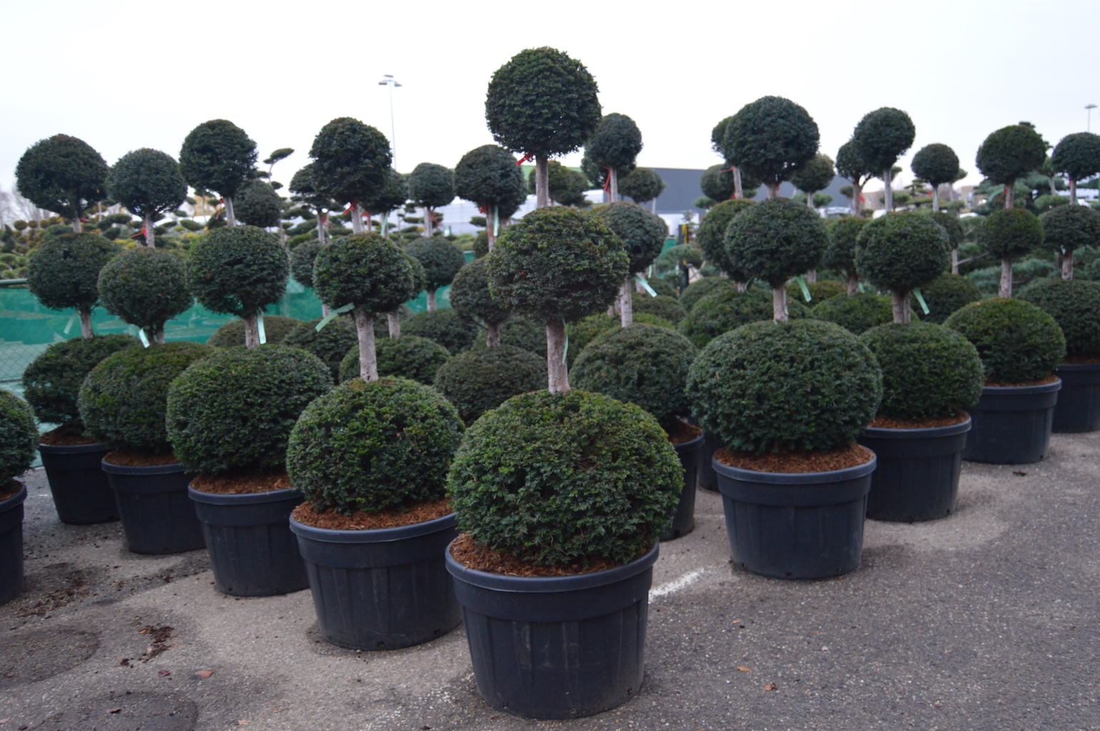 Taxus baccata triple ball topiary plants 150-175cm tall in container