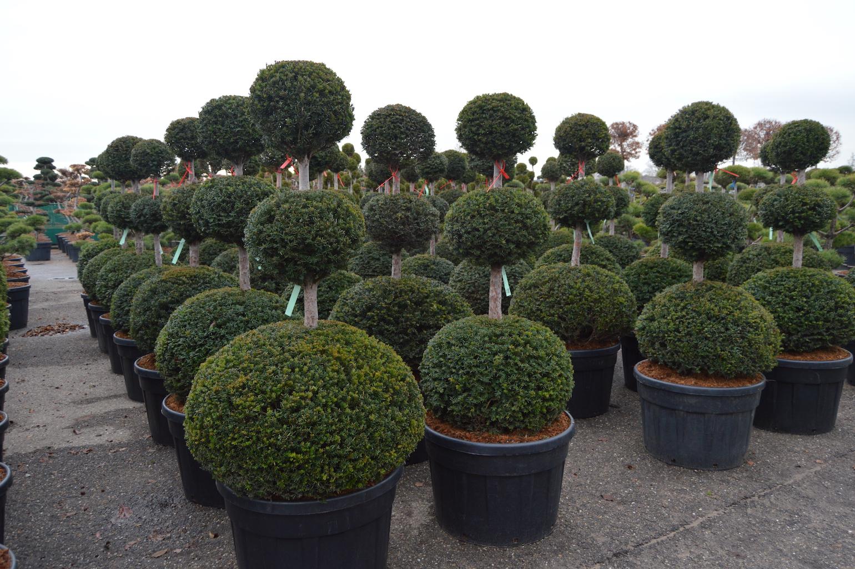 Taxus baccata triple ball topiary plants 150-175cm tall