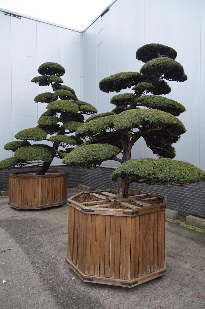Taxus cuspidata 'Nana' cloud pruned specimen (Japanese import) 250-300cm