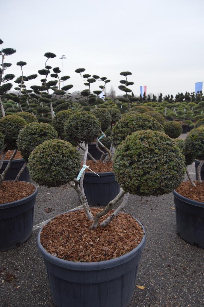 Taxus cuspidata 'Rustique' cloud pruned pom pom multi ball specimen 100-125cm (3)