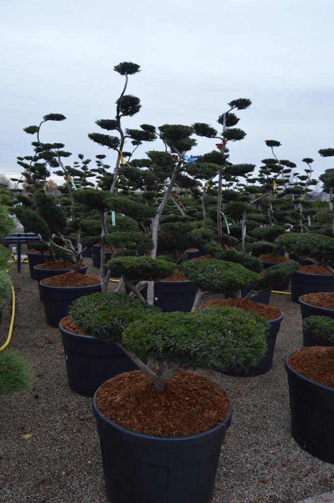 Taxus x media 'Brownii' cloud pruned tree 125-150cm