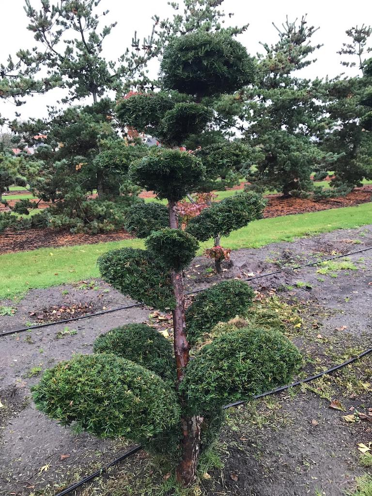 Taxus x media 'Hicksii' 180-200cm cloud pruned (1)
