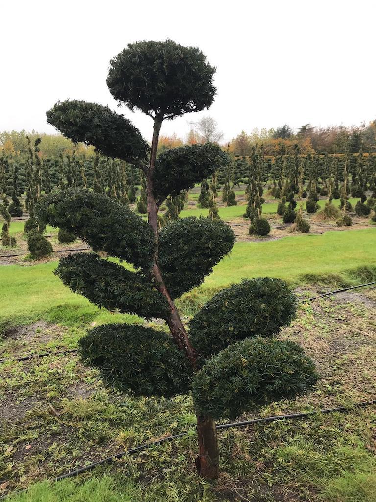 Taxus x media 'Hicksii' 180-200cm cloud pruned (2)