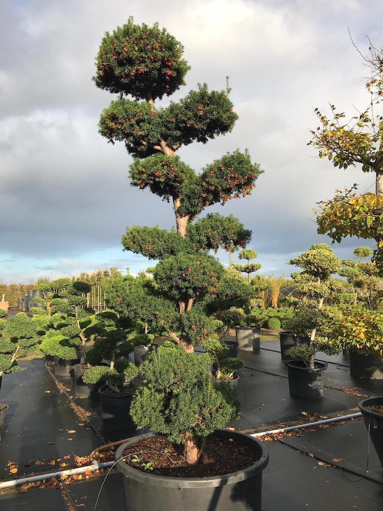 Taxus x media 'Hicksii' 275-300cm