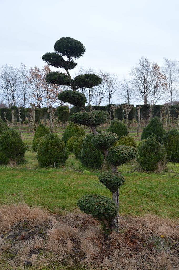 Taxus x media 'Hicksii' (Yew) cloud pruned specimen trees (1)
