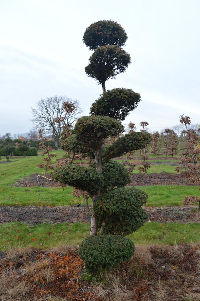 Taxus x media 'Hicksii' (Yew) cloud pruned specimen trees (3)