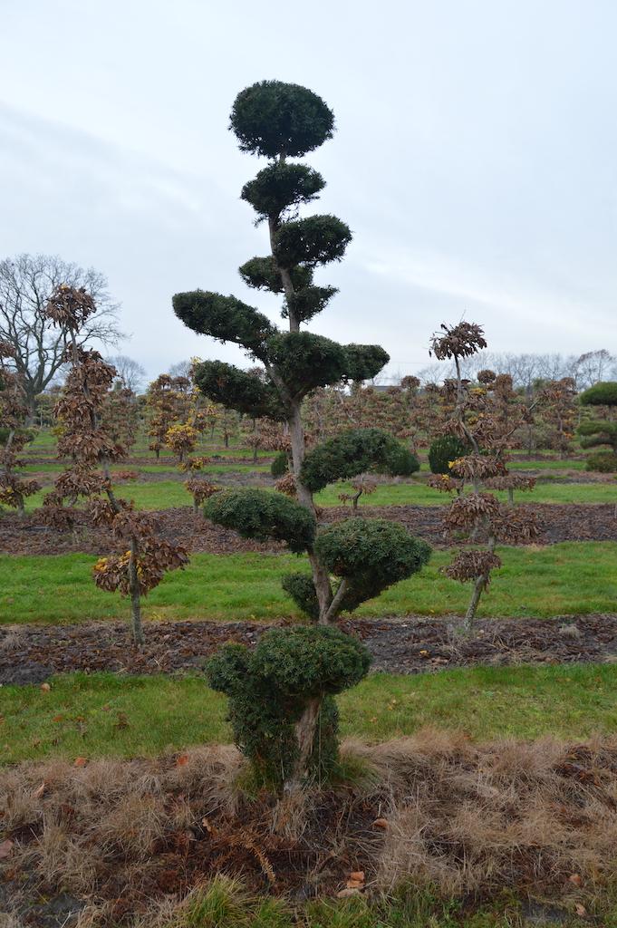 Taxus x media 'Hicksii' (Yew) cloud pruned specimen trees (4)
