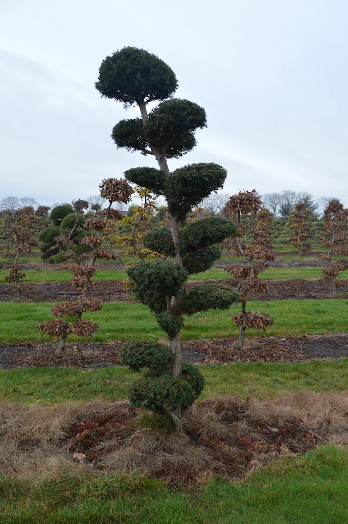 Taxus x media 'Hicksii' (Yew) cloud pruned specimen trees (5)