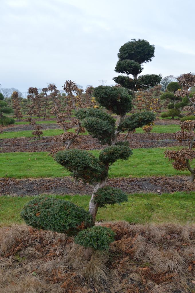 Taxus x media 'Hicksii' (Yew) cloud pruned specimen trees (6)
