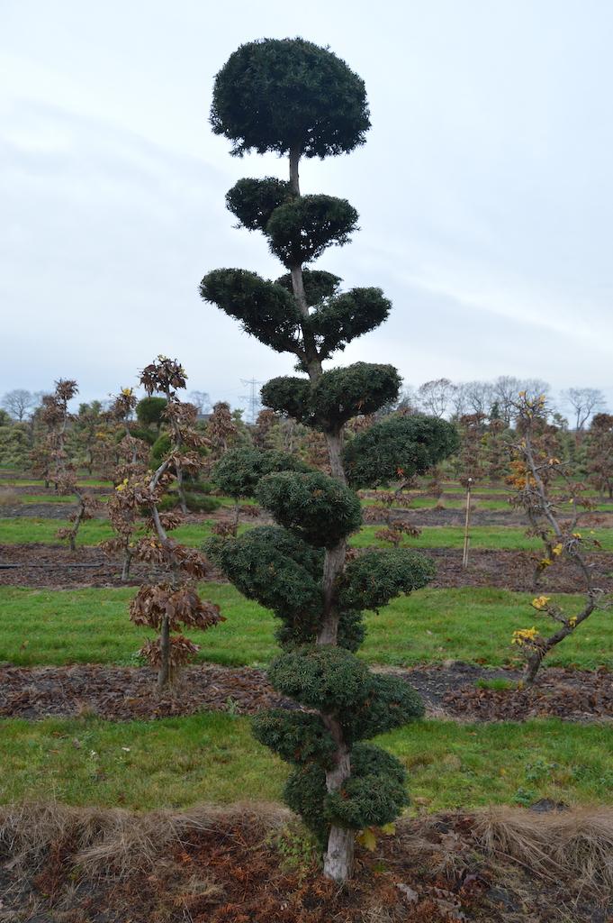 Taxus x media 'Hicksii' (Yew) cloud pruned specimen trees (7)
