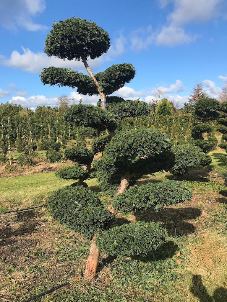 Taxus x media 'Hicksii' cloud pruned 200cm (in field)