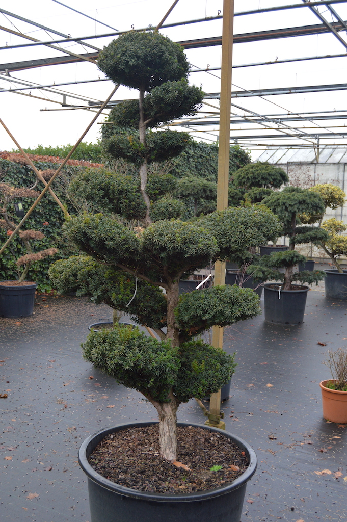 Taxus x media 'Hicksii' cloud pruned tree in container