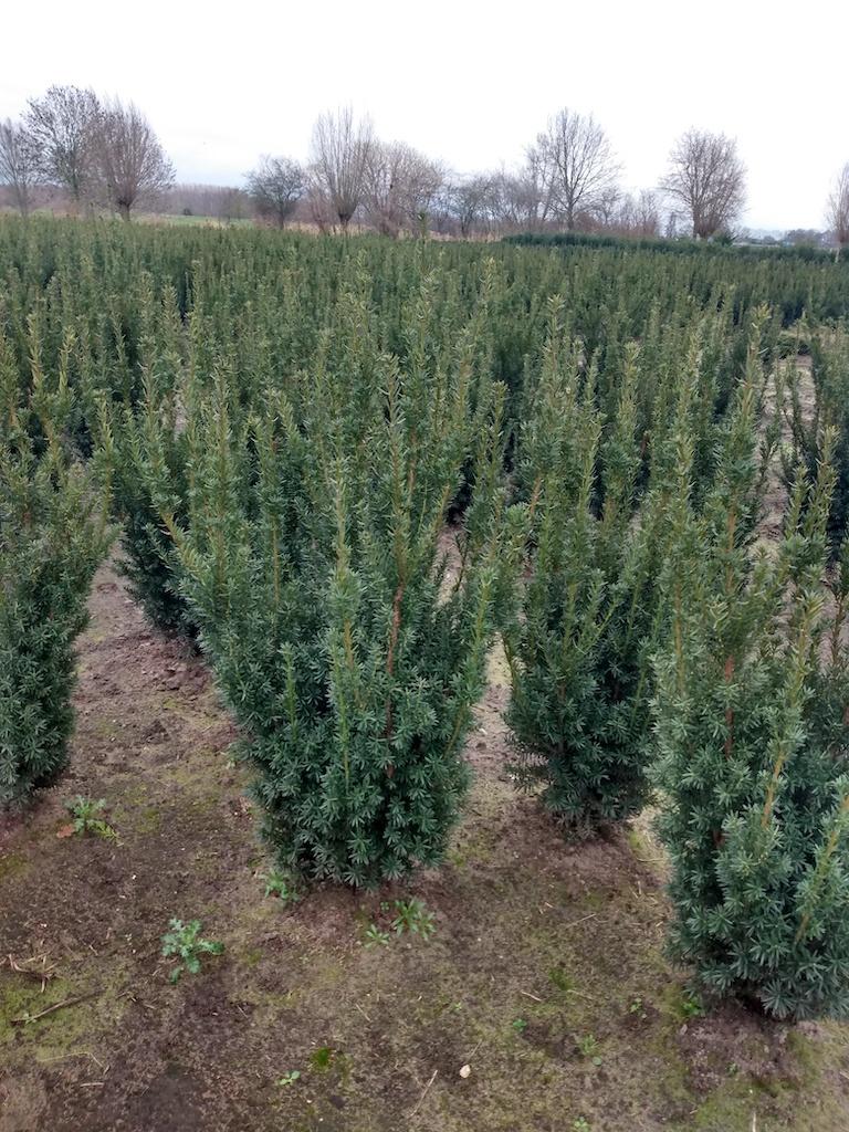 Taxus x media 'Hillii' hedge plants 100-120cm (1)