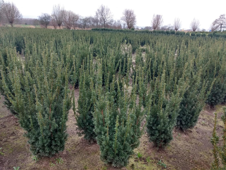 Taxus x media 'Hillii' hedge plants 100-120cm (2)
