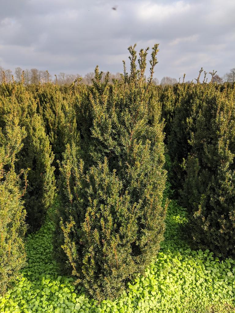 Taxus x media 'Hillii' hedge plants 125-150cm