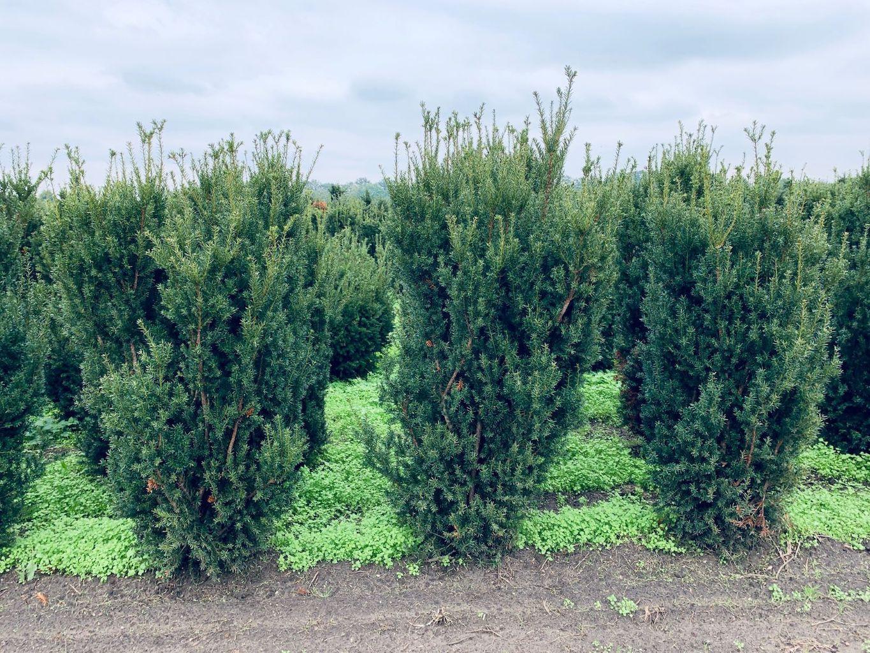 Taxus x media 'Hillii' hedge plants 150-175cm
