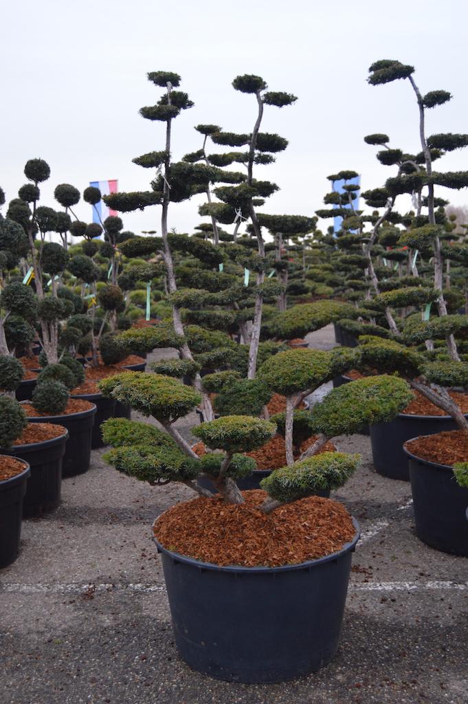 Taxus x media 'Sebian' cloud pruned specimen 175-200cm (1)