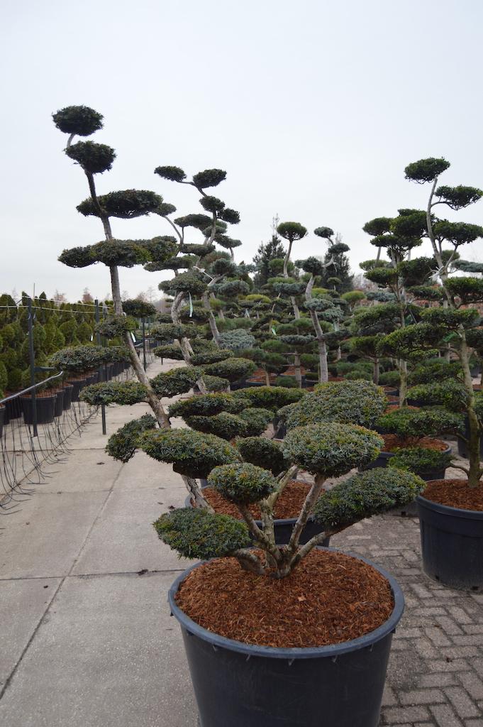 Taxus x media 'Sebian' cloud pruned specimen tree 200-225cm