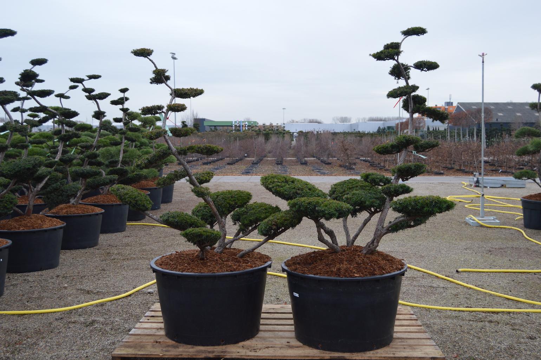 Taxus x media 'Sebian' cloud pruned trees 150-175cm