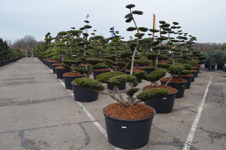 Taxus x media 'Sebian' cloud pruned trees 175-200cm
