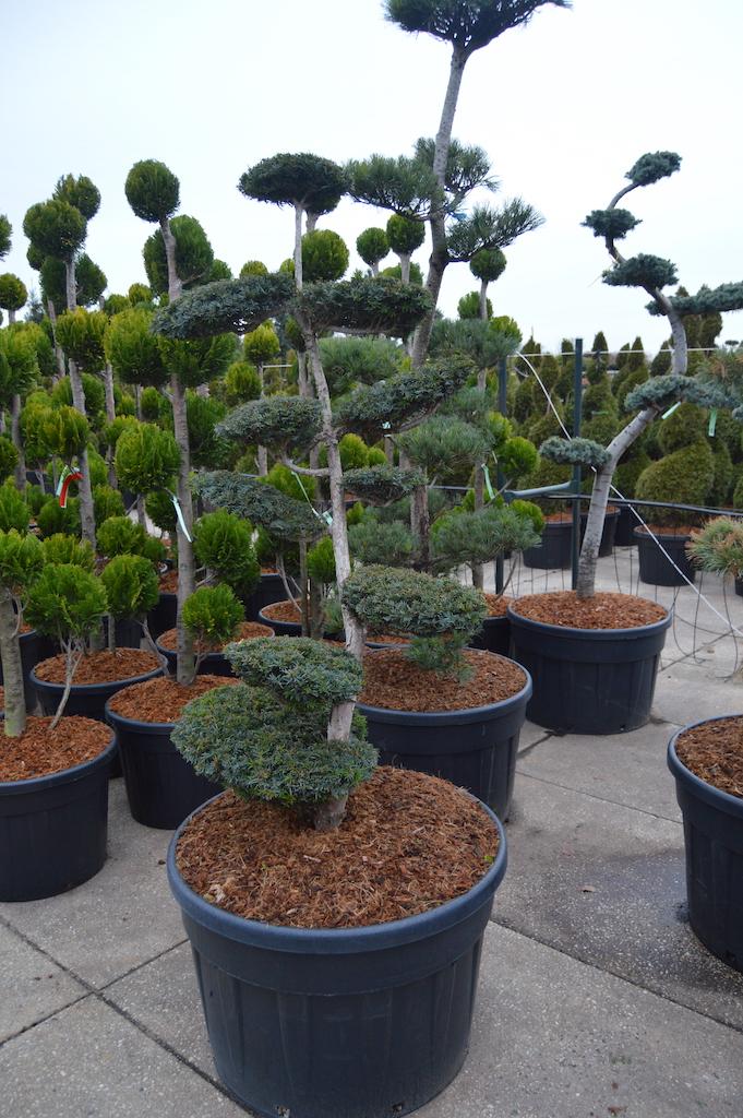Taxus x media 'Thayerae' cloud pruned tree 150-175cm tall
