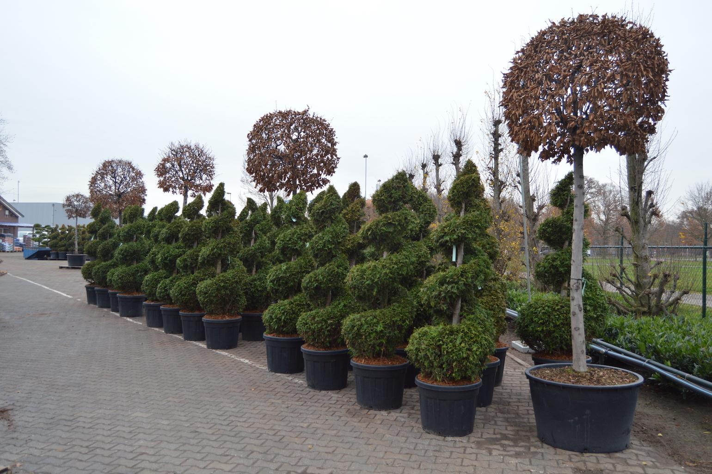 Thuja evergreen topiary spirals