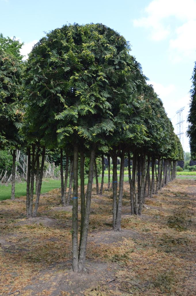 Thuja occidentalis 'Brabant' (White Cedar) multi-stem trees (1)